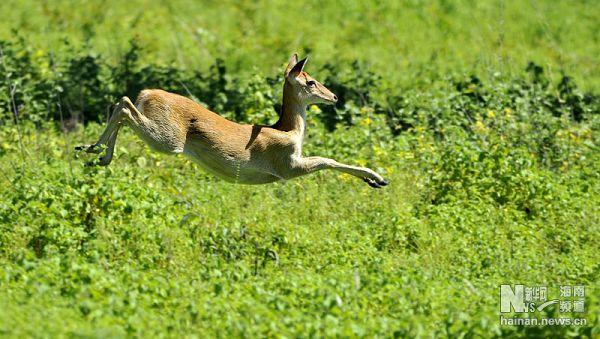 海南坡鹿是海南岛的特有动物,属于国家一级保护动物。上世纪七十年代末八十年代初,这一珍稀物种的数量只剩下二十多头,到了灭绝的边缘。在当地政府和动物保护工作者的努力下,目前海南坡鹿总数量超过2000只,成为我国保护濒危野生动物成效最显著的物种之一。
