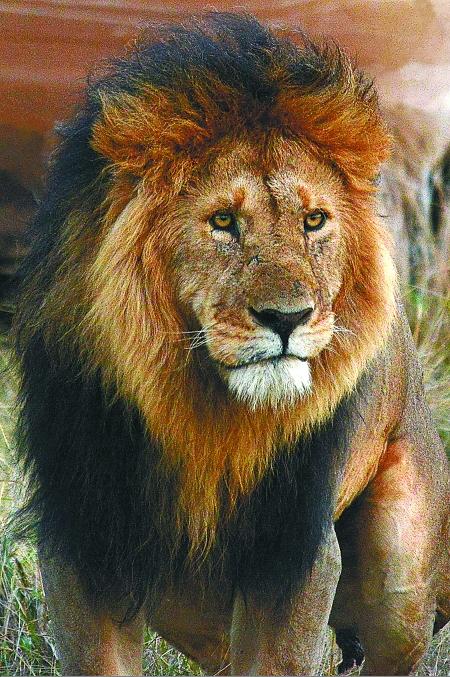 非洲雄狮 本版图片除署名外由受访者供图