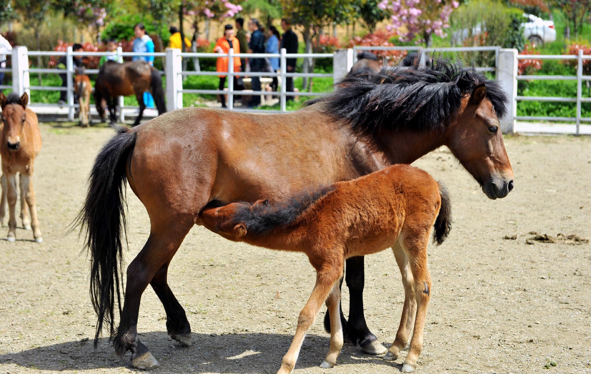新华社照片,汉中(陕西),2015年4月14日   陕西宁强矮马数量持续增加   4月12日,在宁强县矮马繁育中心,一匹宁强矮马正在哺乳小马驹。   经过多年来的有效保护,我国珍稀矮马品种宁强矮马在陕西省宁强县的种群数量持续增加。目前,全县有体高106厘米以下矮马206匹,比1990年种群数量增长21.