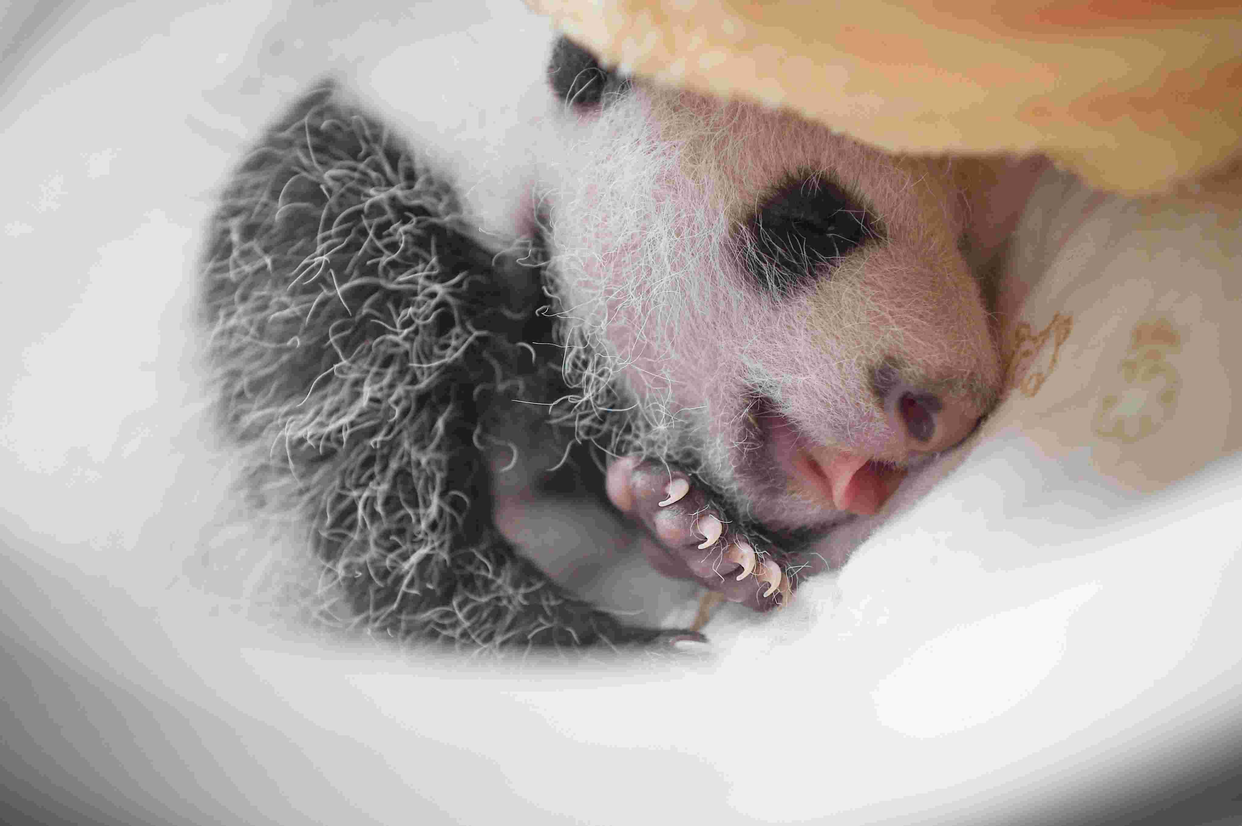 (锐视角)(3)雅安:新生大熊猫宝宝集体亮相