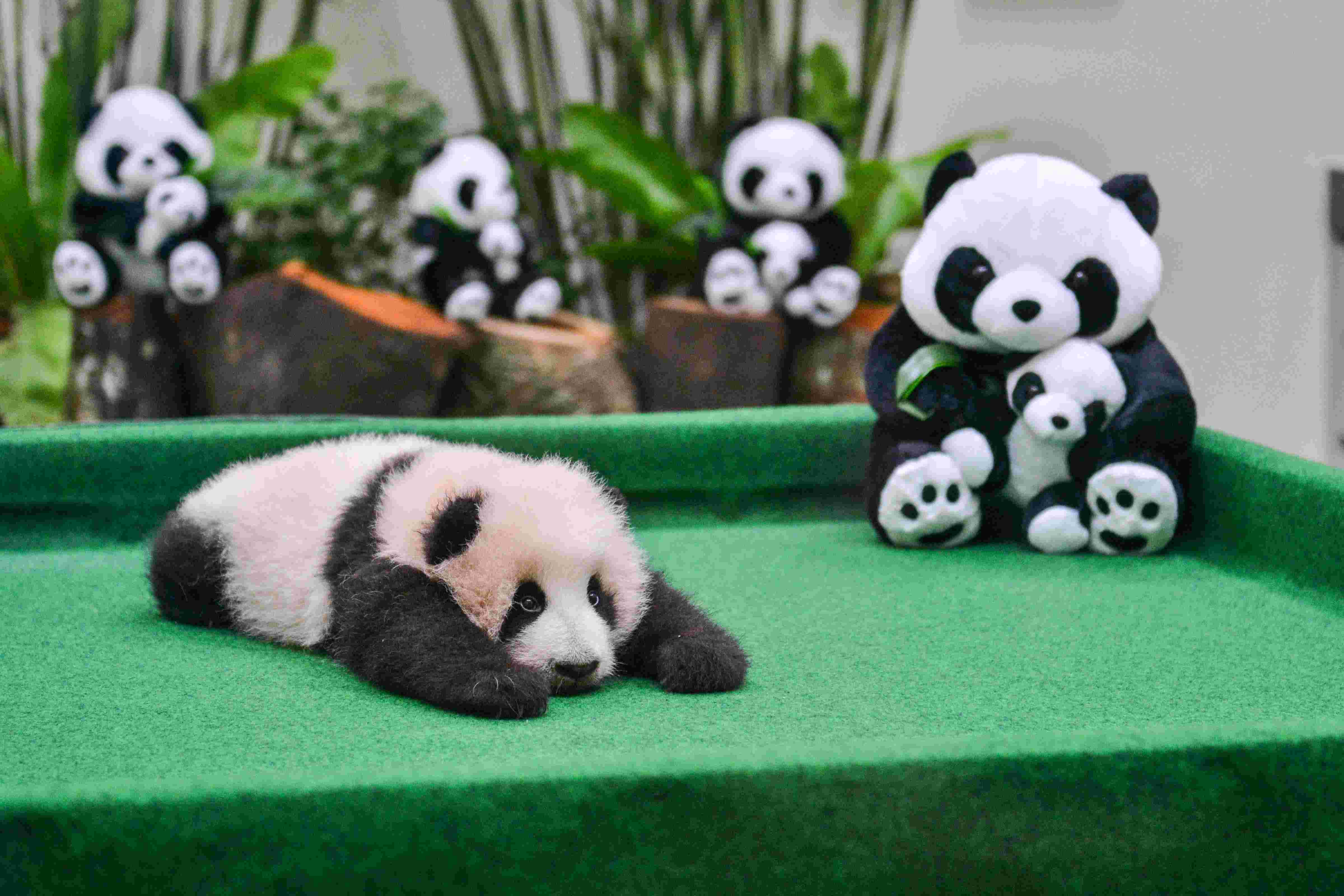 动物园拍摄的大熊猫宝宝