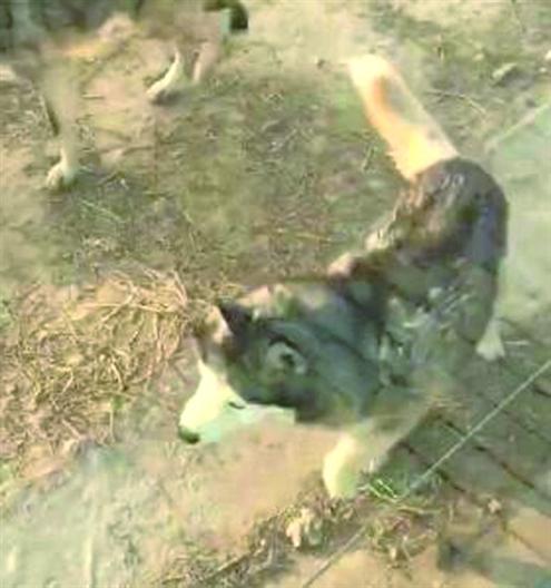 动物园狼舍现哈士奇 园方:它在狼群中拥有地位